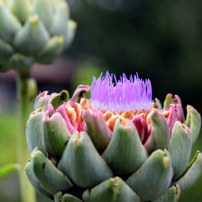 Spotted: Blooming Artichokes