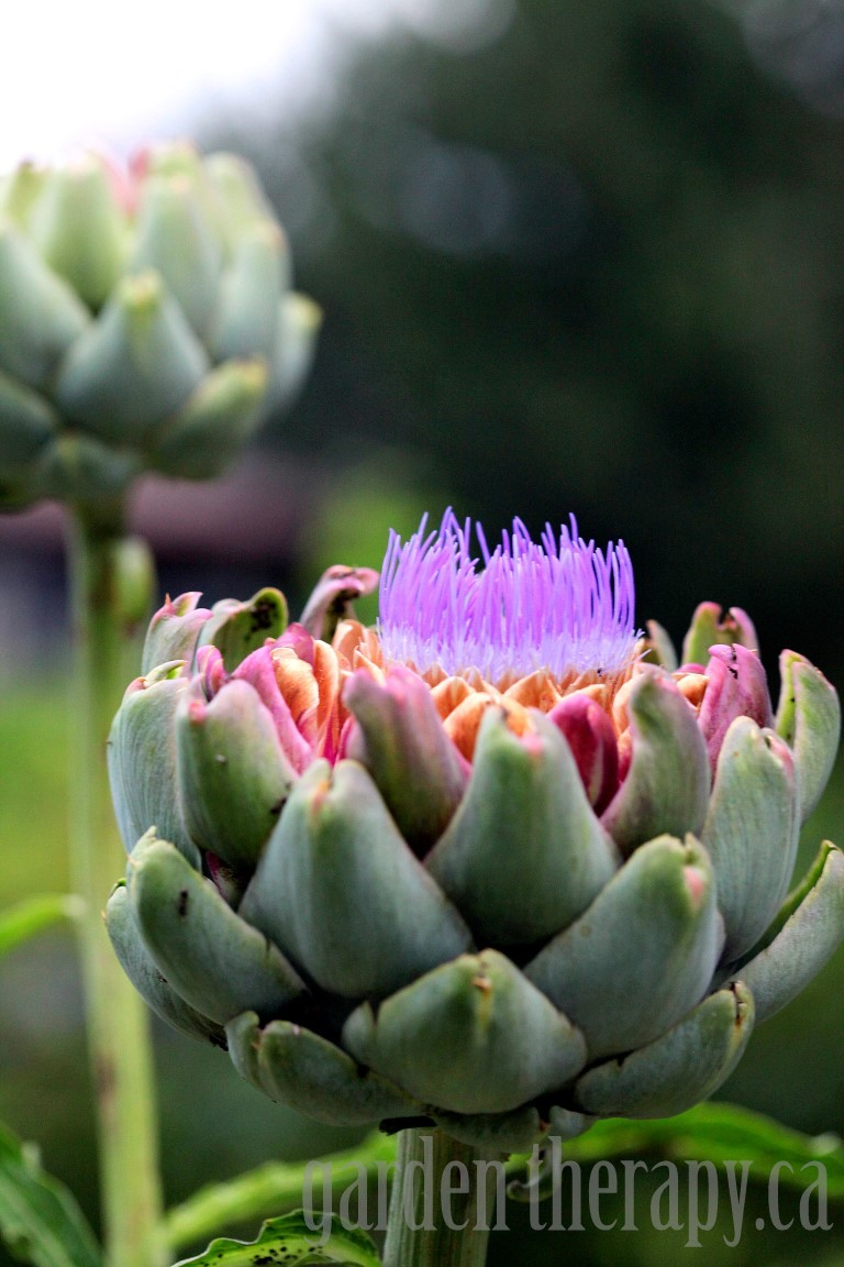 Artichoke In Bloom Medium