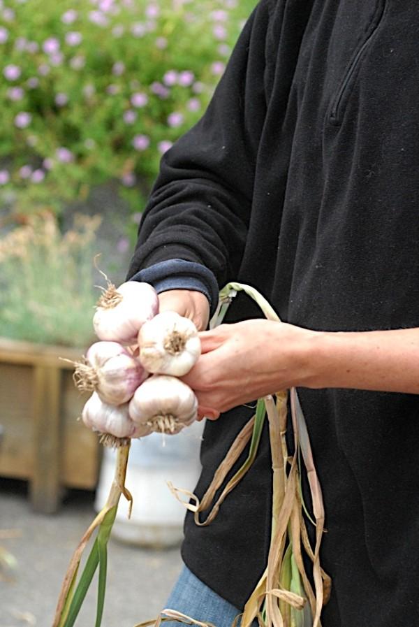 Braiding garlic bulbs fir decorative storage