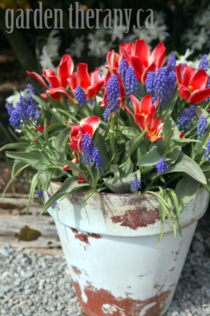 Grape Hyacinth and Tulip Planter