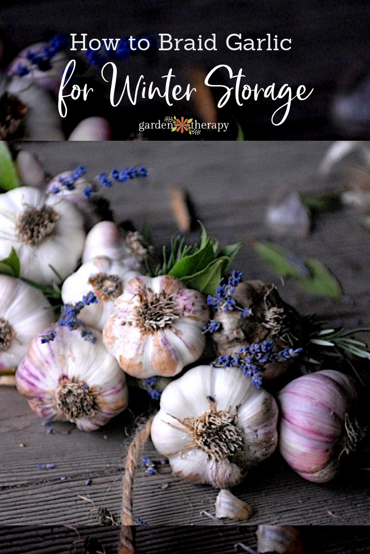 "Garlic braided together with lavender flowers and copy ""How to Braid Garlic for Winter Storage"""