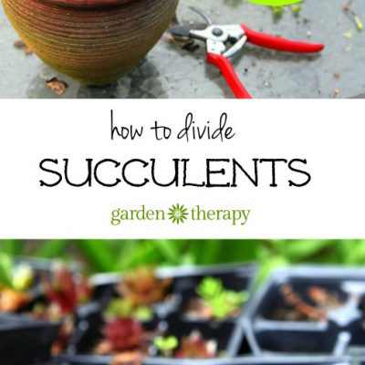 Thrifty Gardening: How to Divide Succulents