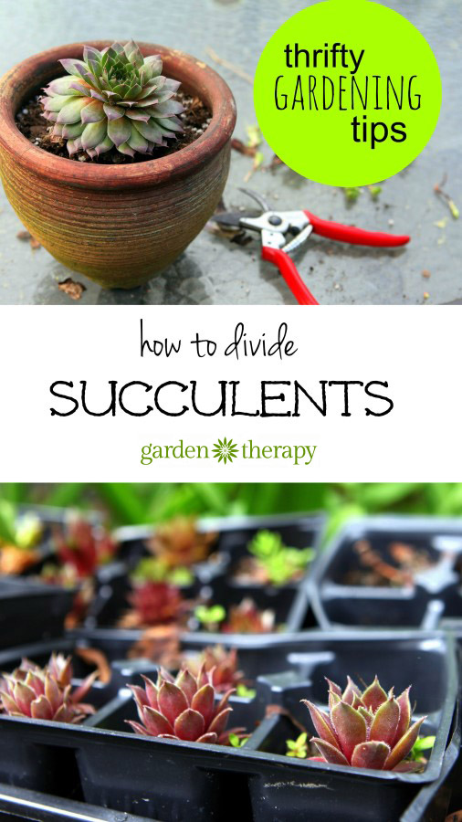 How to Divide Succulents easily and inexpensively!