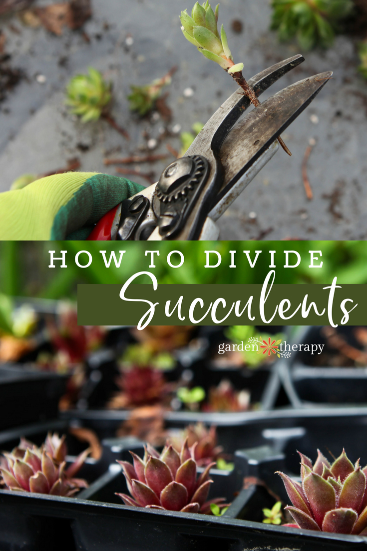 how to divide succulents