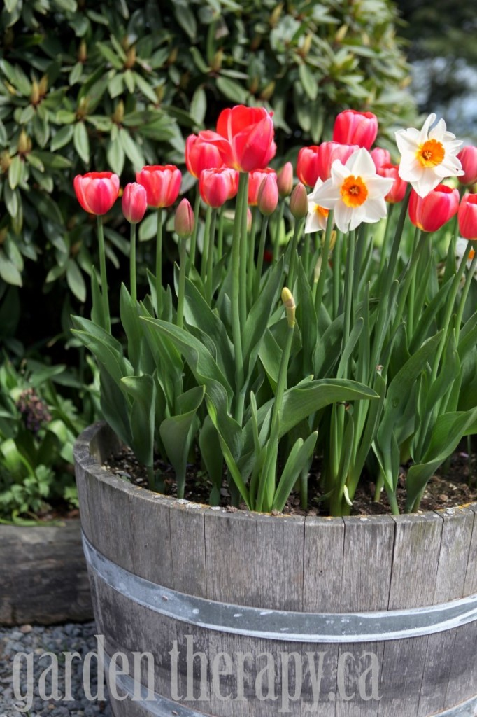 Tulip and Narcissus Wine Barrel Planter