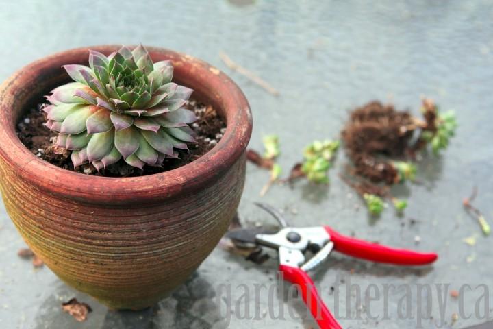 Dividing Succulents via gardentherapy.ca