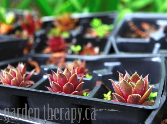Propagating Succulents via gardentherapy.ca