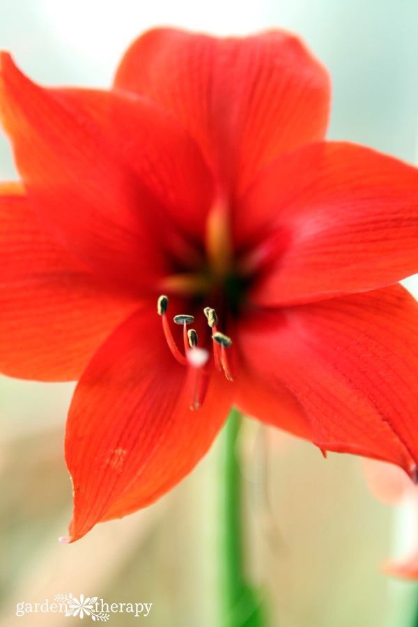 Grow amaryllis for stunning winter blooms