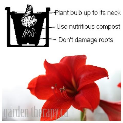How to Plant Amaryllis Bulbs