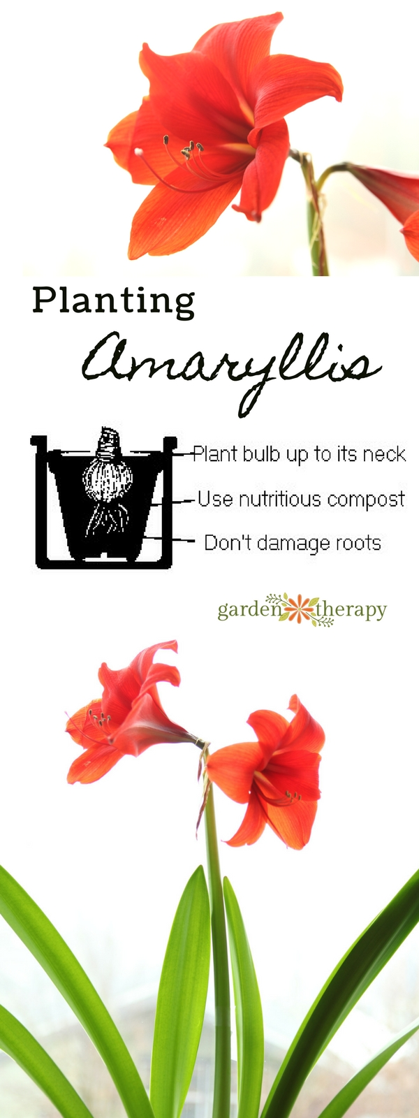 How to Grow Amaryllis in a Jar
