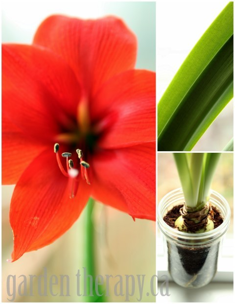 Planting and Care of Amaryllis Bulbs and many more mason jar crafts