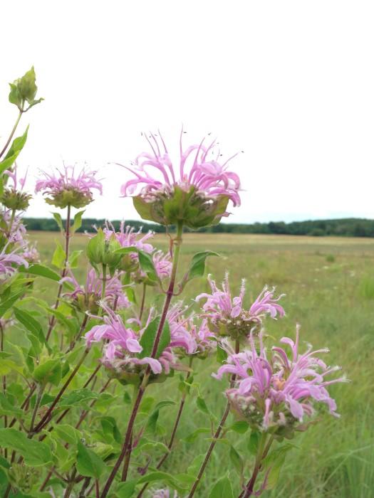 light pink edible bergamot flowers