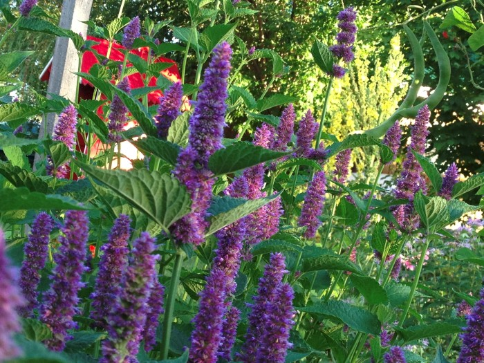 The bright purple flower spikes and vibrant green leaves of lavender hyssop, both of which are edible