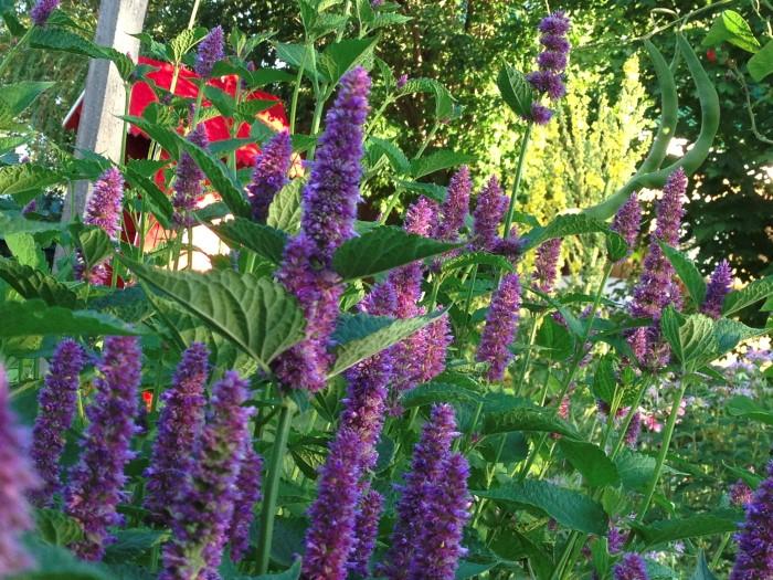 Lavender Hyssop (Agastache foeniculum) Edible Wildflowers