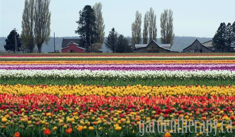 Tulip Town at the Skagit Valley Tulip Festival