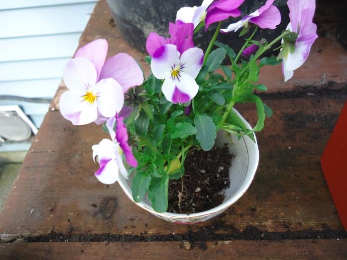 Vintage teacup planting tips