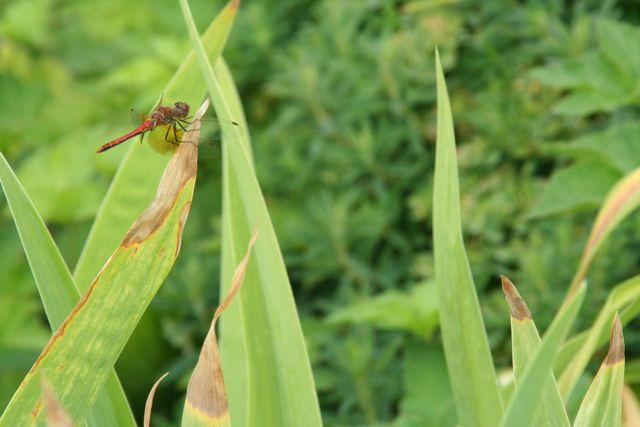 dragon-fly-sensible-gardening