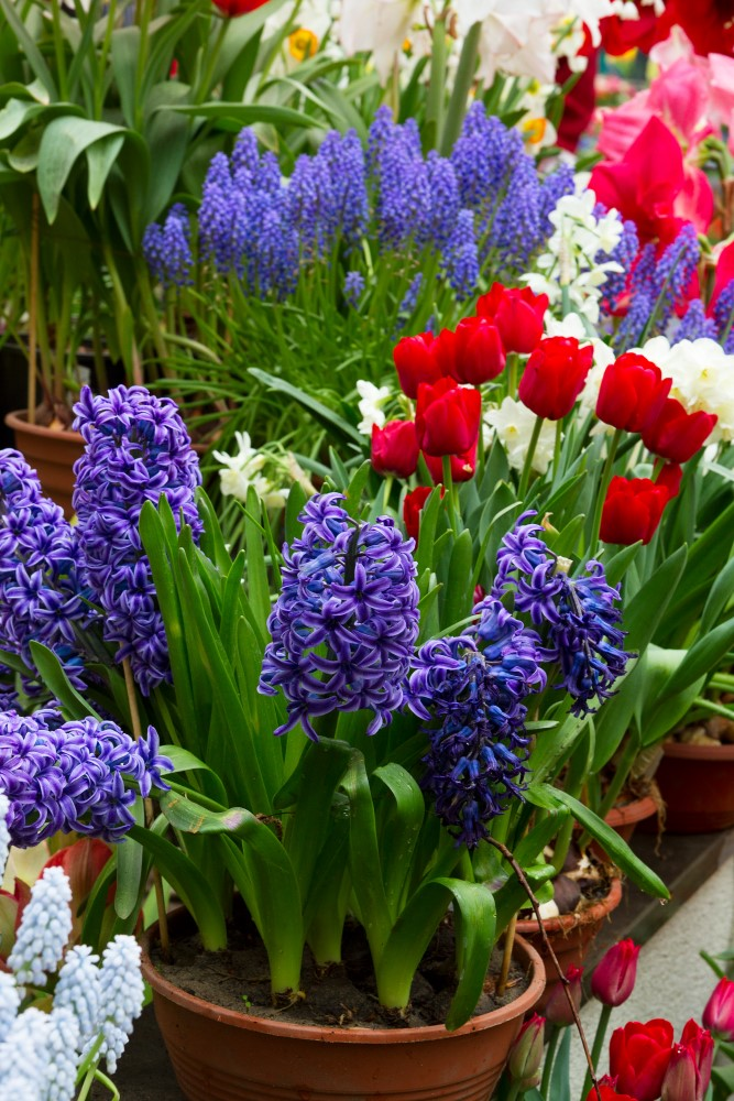 Plant colorful fall bulbs in containers in the fall and next spring they will be gorgeous!