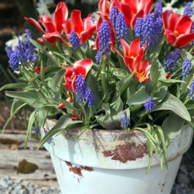 Preparing Fall Bulb Planters for Spring