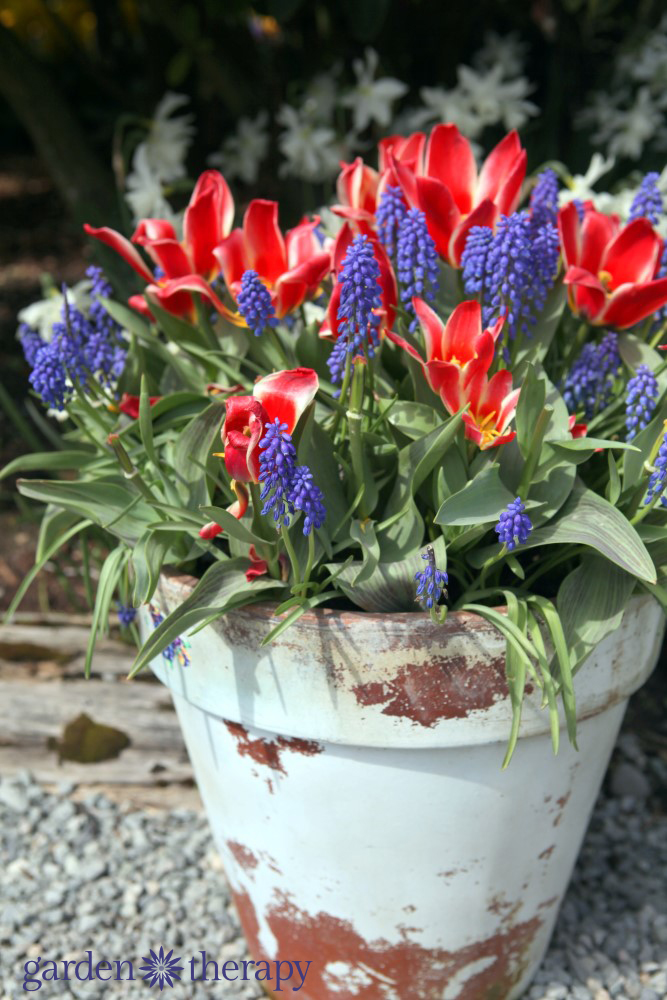 Mixed bulb container recipe - tulips and muscari
