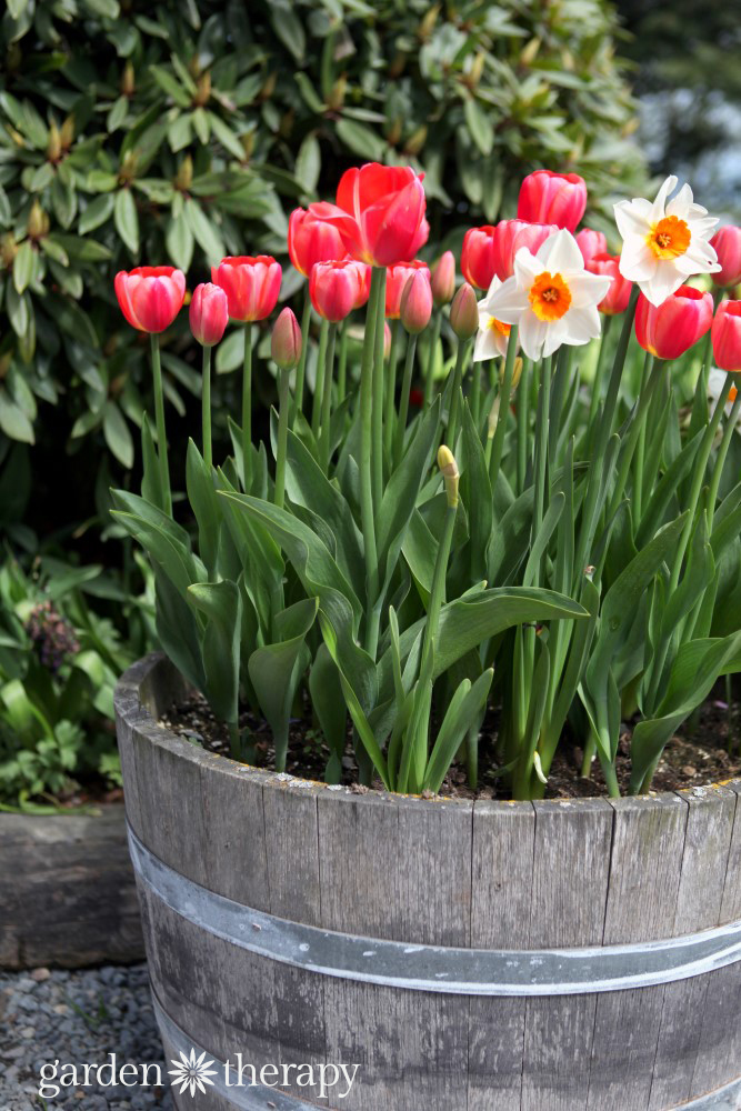 Mixed bulb container recipe - tulips and narcissus in a wine barrel