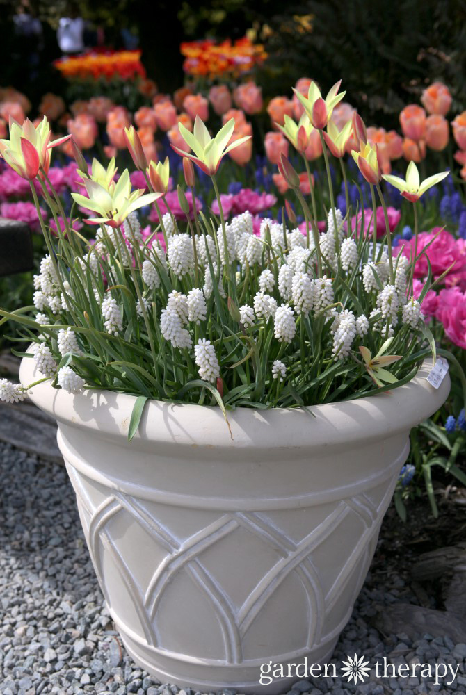 Mixed fall bulb planter recipe - tulips and grape hyacinths