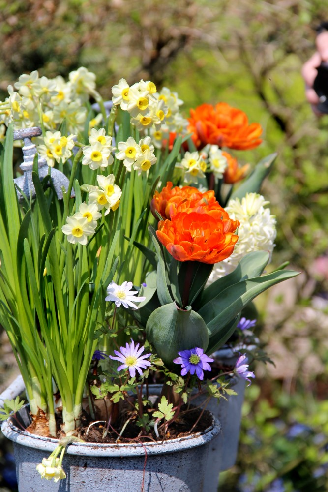 Plant colourful fall bulbs in containers in the fall and next spring that will be gorgeous!