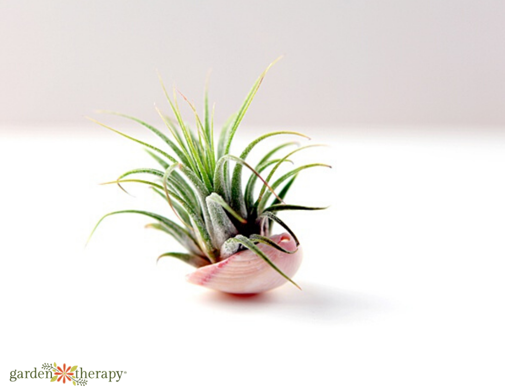 Pink seashell holding an air plant
