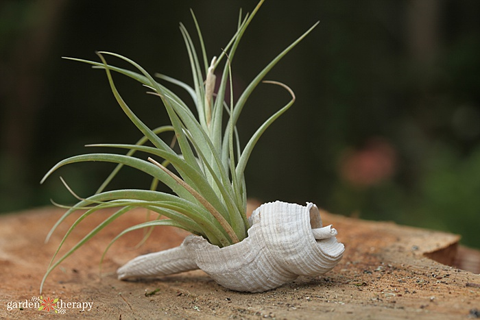 air plant variety growing out of a long seashell