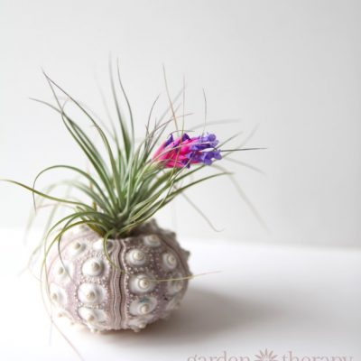 How to Keep Air Plants Alive and Healthy (They Might Even Bloom!)