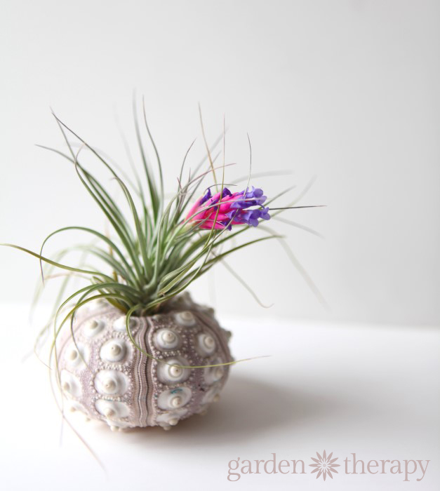 How to get your air plant to bloom