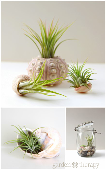 Sea urchin and seashells - How to plant an air plant sea shell terrarium