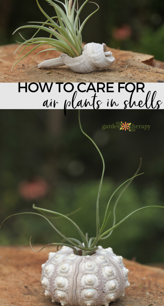 pinterest graphic for how to display air plants in shells
