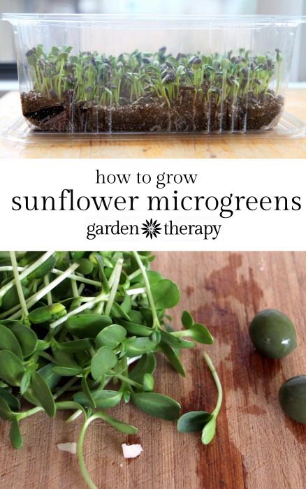 How to Grow Sunflower Sprouts (microgreens) at home