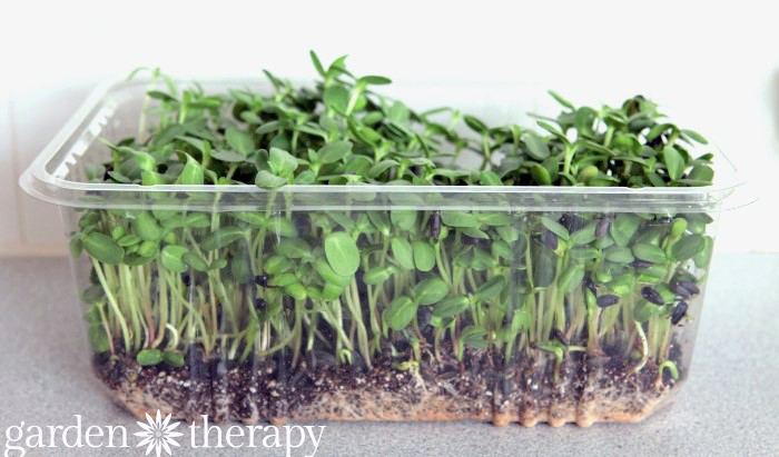 Sunflower Sprouts DAY 17 from How to Grow Sunflower Microgreens