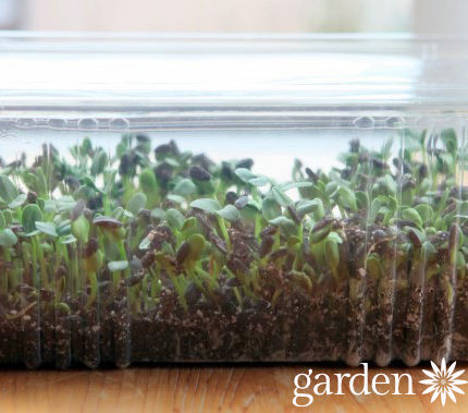 microgreens growing in a container