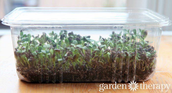 Sunflower Sprouts DAY 7 from How to Grow Sunflower Microgreens