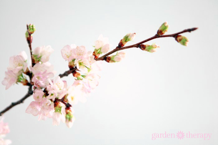 Beautiful Cherry Blossom Branch