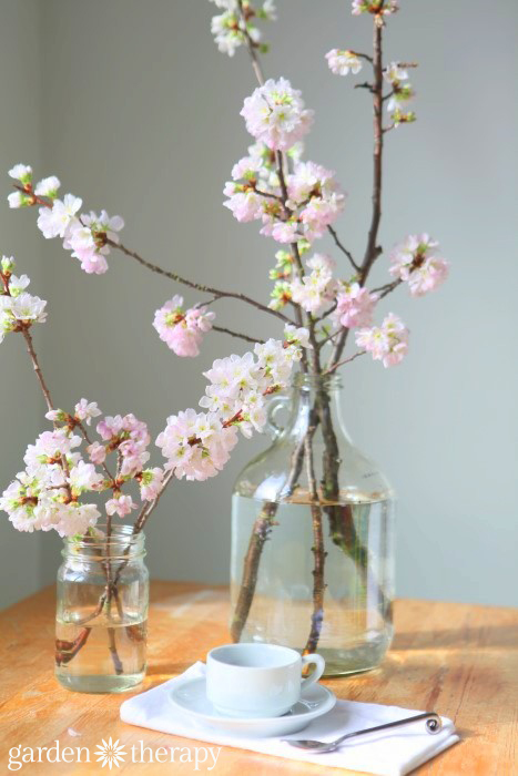 Cherry blossoms are so easy to force indoors! from How to Force Spring Branches to Bloom Indoors