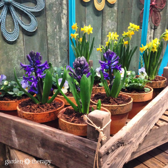 Spring hyacinthe and narcissus bulbs in terra cotta pots from the Blue Greenhouse Seaside Garden Design Feature