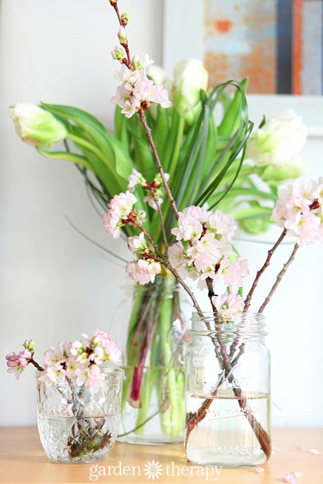a cheery spring arrangement in glass mason jars - tulips and cherry blossoms