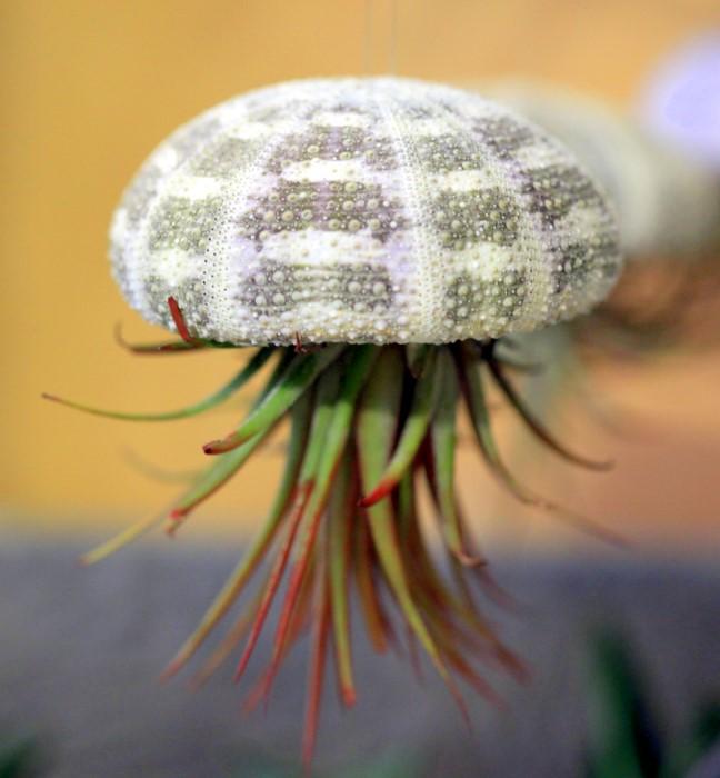 Air plant sea urchin hanging planter