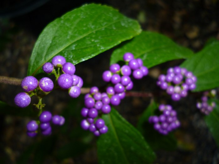 Callicarpa dichotoma 'Early amethyst' from the Top 10 Allergy Fighting Plants