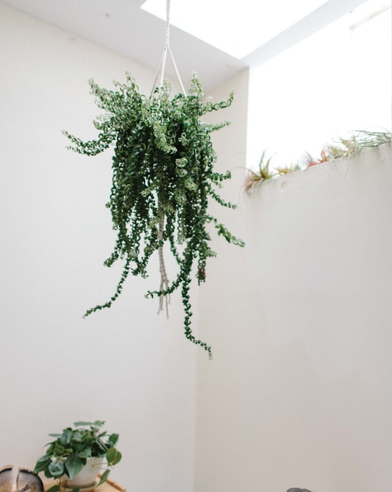 Gorgeous indoor plants hung with modern macrame - aeschynanthus lobbianus rasta learn how to make it
