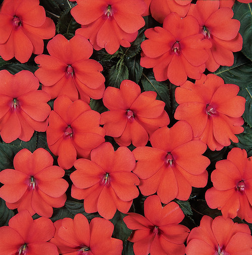 bolero orange Impatiens from the Top 10 Allergy Fighting Plants