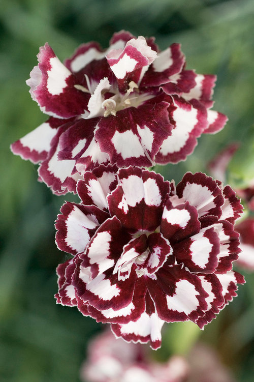 dianthus coconut punch from the Top 10 Allergy Fighting Plants