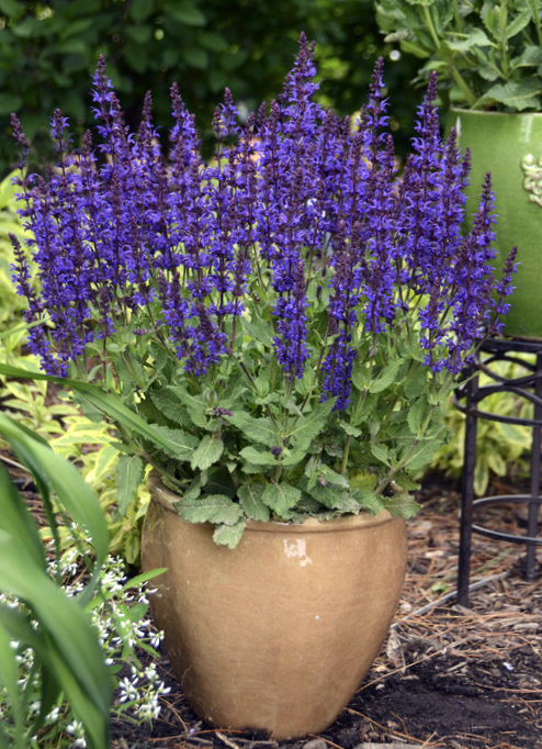 salvia violet riot from the Top 10 Allergy Fighting Plants