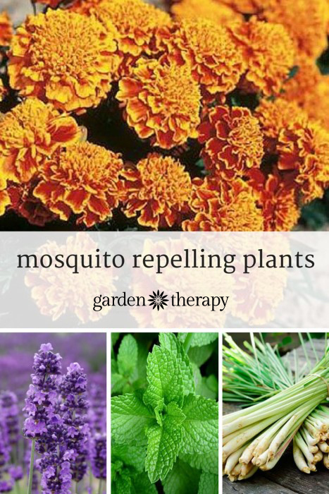 Mosquito repelling plants for your garden