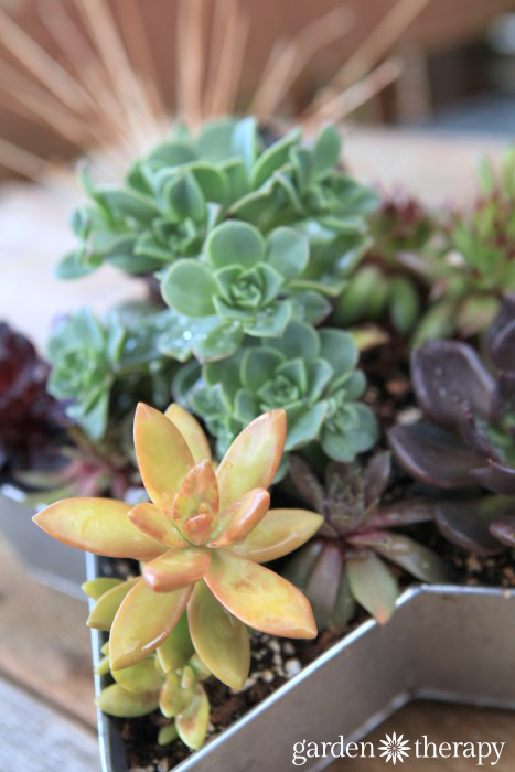 Aeonium and other succulents