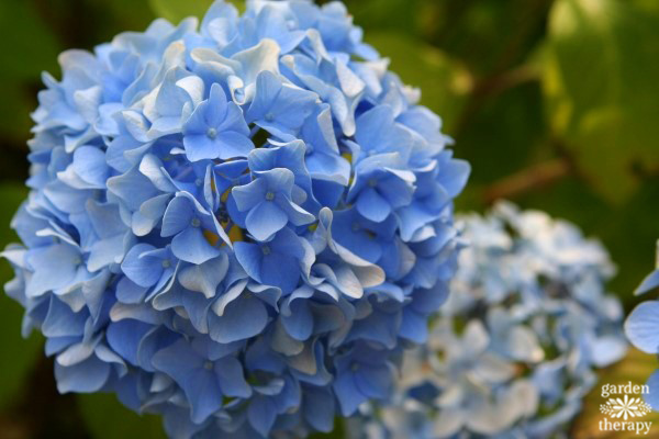 the essential guide to growing hydrangeas, Beautiful flower